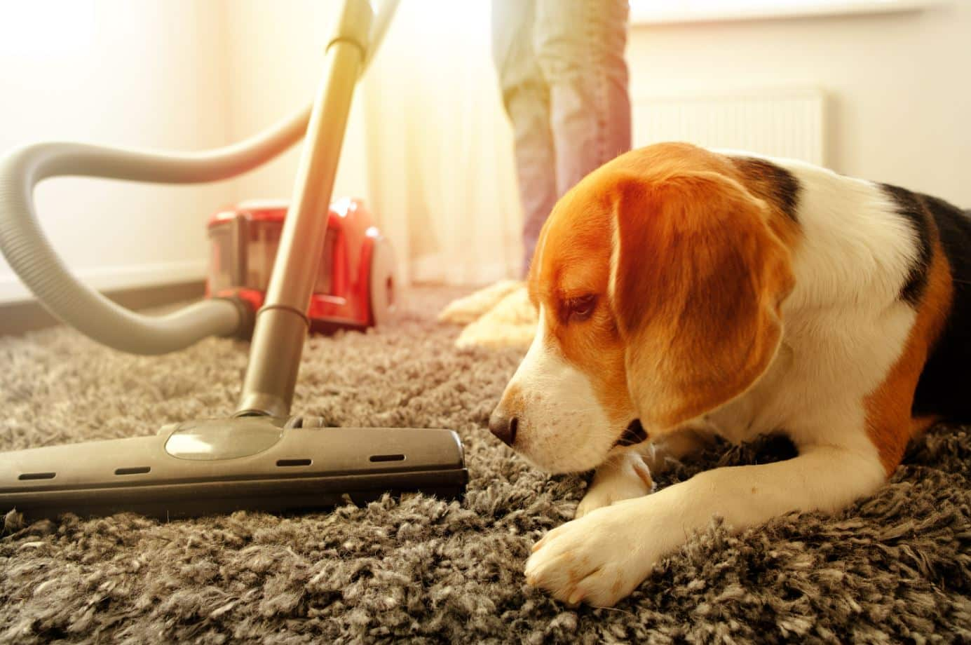 beagle dog sitting on a grey carpet next to a red vacuum cleaner