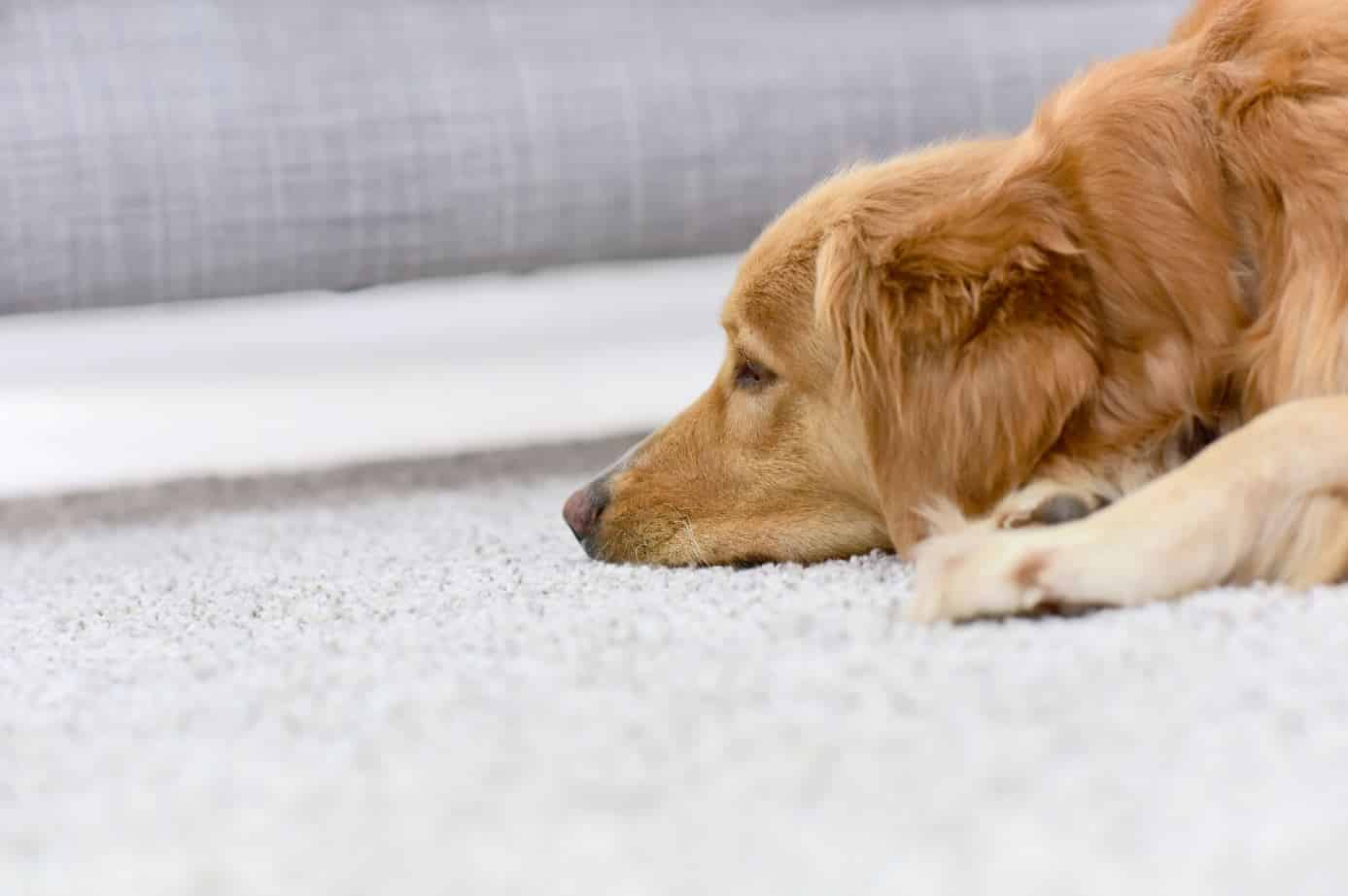 labrador with its muzzle on a white carpet